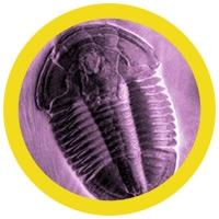 Trilobita (Asaphiscus wheeleri) under a microscope!