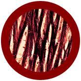 Heart Cell (Cardiomyocyte) under a microscope!