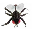 House Fly (Musca domestica)