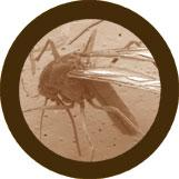 Mosquito (Culex pipiens) under a microscope!