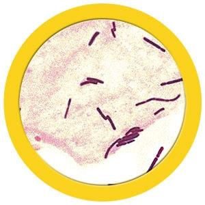 Acidophilus (Lactobacillus acidophilus) under a microscope!