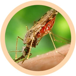 Anopheles Mosquito under a microscope!