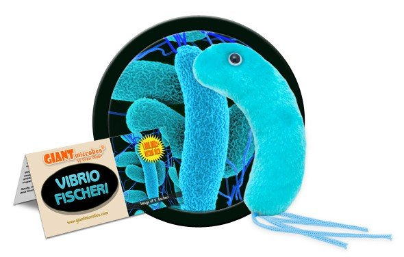 Vibrio Fischeri (Vibrio fischeri)