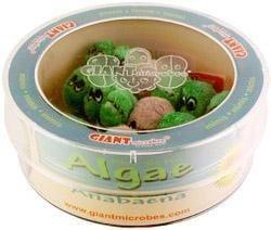 Algae (Anabaena) Petri Dish