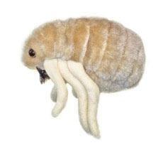 Flea (Ctenocephalides felis)