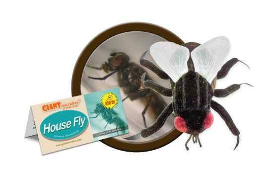 House Fly cluster
