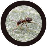 Black Ant (Lasius niger) under a microscope!