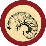 Bookworm (Anobium punctatum) under a microscope!