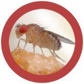 Fruit Fly (Drosophila melanogaster) under a microscope!