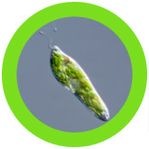 Euglena (Euglena gracilis) under a microscope!