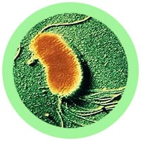 Geo, the Electric Microbe (Geobacter sulfurreducens) under a microscope!